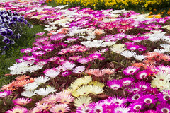 Livingstone Daisies' Landscape(리빙스톤 데이지 풍경) (Synghan) Tags: livingstone daisy daisies landscape landscapes scenery sceneries colour colourful image images photography horizontal outdoor outdoors flower flowers plant plants nature wildlife wild spring south korea goyang lake park canon eos 600d rebel t3i kiss x5 sigma 1770 1770mm f284 284 dc macro lens 리빙스톤데이지 리빙스톤 데이지 꽃 봄 봄꽃 delosperma cooperi