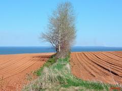 Trees in a Field (photo fiddler) Tags: hot field novascotia farm may soil blomidon furrows 2014