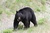 Black Bear  1887 (robenglish64) Tags: blackbear