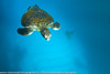 Chelonia mydas - Tortue verte - Black Turtle - Pacific Green Turtle - 2014 Galapagos 07.jpg