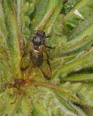 Birch Sawfly Cimbex femoratus. (John A Petyt) Tags: cimbicidae cimbex sawfly cimbexfemoratus