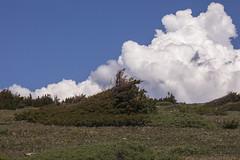 Fulminating cumulus (Jeff Mitton) Tags: mountains landscape colorado scenic alpine cumulus wilderness treeline tundra universityofcolorado wondersofnature engelmannspruce niwotridge subalpinefir mountainresearchstation earthnaturelife krummholztree