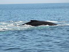 DSCN1274 (aurospio) Tags: offshore massachusetts chatham whales humpback necwa