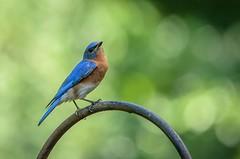 Proud Bluebird 283/365 (Maggggie) Tags: 365 bluebird bird backyard explored
