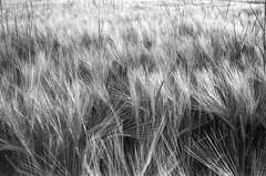 wheat (Trillian Petrova) Tags: bw film field analog rural 35mm germany munich landscape fuji wheat scan neopan400 yashica mytown electro35 sprsinnhcd