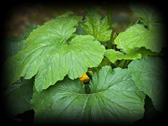 great big ...squash leaves (MissyPenny) Tags: plants green vegetables garden squash zucchini buckscounty bristolpennsylvania