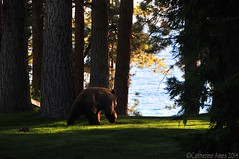 Tahoe wild and a bit close for comfort... (cathames) Tags: bear wild lake black forest mammal dangerous nevada tahoe national predator