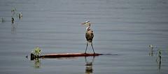 Log Roll (kbbrawley5) Tags: blue bird heron water kurt mo missouri blueheron waterfowl greatblueheron greatriverroad melvinpricelockanddam riverlandsmigratorybirdsanctuary kurtbrawley kbbrawley5