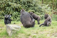 2015-05-12-12h12m02.BL7R1152 (A.J. Haverkamp) Tags: netherlands zoo gorilla thenetherlands apenheul apeldoorn dierentuin gelderland cercopithecuslhoesti httpwwwapenheulnl lhoestmonkey nemsi canonef100400mmf4556lisusmlens pobapeldoornthenetherlands dob23082001 lhoestmeerkat
