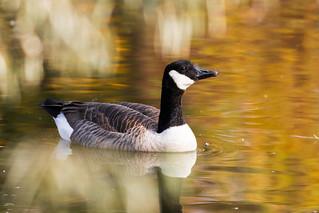 Canada Goose5