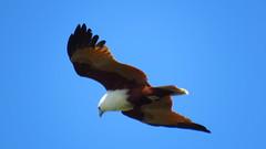 brahminy kite, king island wellington point, mjc-2016-08-16-IMG_2198 (wiccked) Tags: birding birds wellingtonpoint kingisland