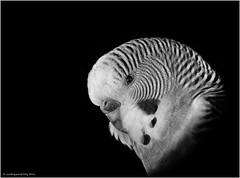 Melopsittacus undulatus (earthquakeeddy) Tags: wellensittich schwarzweis olympusomdem1 40150mmf28pro vogel silverefexpro ipad pencil pixelmator photogene ngc tierpark sababurg melopsittacusundulatus olympuskameras