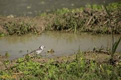 White Wagtail (KAYUM photography) Tags: wagtailthewhitewagtailisasmallpasserinebirdthisspeciesbreedsinmuchofeuropeandasiaandpartsofnorthafricalocationgazipur dhaka bangladesh    white wagtail
