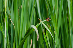 (Jos Mauricio Garijo) Tags: butterfly borebisp estnciaboavista borboletas fauna natureza minimalismo josmauriciogarijo verde green insetos invertebrados monarca