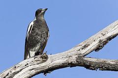 Australian Magpie 2016-10-13 (60D_4248) (ajhaysom) Tags: australianmagpie gymnorhinatibicen greenvale melbourne australia australianbirds canoneos60d sigma150600