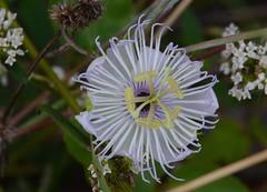 Passiflora  foetida (robertoguerra10) Tags: passiflora passifloracea passion flor maracuja maracuj
