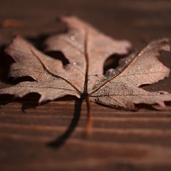Trame d'autunno - #AutumnLeaves (Valentina Conte) Tags: veins leaf autumn foglia autunno leaves fall red color colorful valentinaconte rebelsl1 canon100d web drops gocce water rain dew wood nature macro autumnleaves