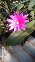 IMG_20161019_094206019 (Rodrigo Ribeiro) Tags: flower flor flores garden gardening jardim jardinagem