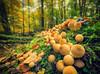 Hypholoma fasciculare (Thomas Heuck) Tags: pilz pilze müritznationalpark wald stamm herbst oktober moos blätter schwefelköpfe