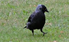 Western Jackdaw, Corvus monedula (asterisktom) Tags: 2016 trip2016kazakheuro july germany lbeck luebeck lubeck westernjackdaw eurasianjackdaw jackdaw corvusmonedula