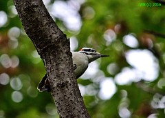 DSC_0754n wb (bwagnerfoto) Tags: szőrös hőcsik leuconotopicus villosus haarspecht hairy woodpecker madár bird vogel outdoor nature fauna nashua nh closeup bokeh