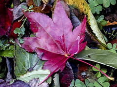2016-10-17 The colors of the season! (Mary Wardell) Tags: fall autumn leaves colors red green portland oregon ps