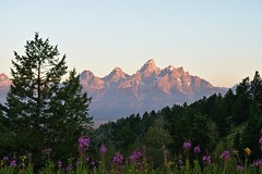 Out with the Old (kevstewa) Tags: grandteton tetonnationalpark grandtetonnationalpark mountains nature sunrise flowers trees tetons