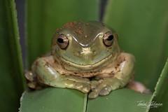 White's Treefrog (ToddLahman) Tags: whitestreefrog treefrog frog closeup lowlight sandiegozoosafaripark safaripark canon7dmkii canon canon100400