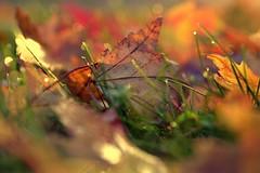 awaken (joy.jordan) Tags: leaves autumn yard dew morning color texture bokeh