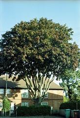 Neighborhood Watch (Noah MM) Tags: nikon f801 kodacolor kodak c41 epson film analogue 35mm tree nottingham