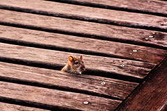 A Mouse by the Deck - ( EXPLORED!!!! ) (andrebatz) Tags: rat mouse mickey hamster ratinho nature wildlife deck wood cute frestas fendas urban animal vida selvagem mamal