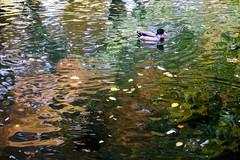 The duck and reflection.  Reflets d automne2 (Chander-17) Tags: automne arbres saison reflets rivires lumire eau paysages parcs larochelle france aquitainelimousinpoitoucharentes fr