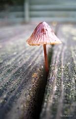 Table Top Shroom (CanMan90) Tags: macro mushroom picnictable picnic table workplace work november lunchbreak university uvic victoria vancouverisland britishcolumbia bokeh canon sd1200 pointshoot closeup