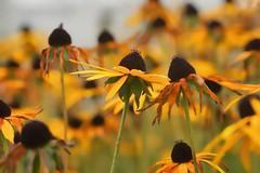 No longer perfect (radleyfreak) Tags: yellow rudbeckia autumn hues warmth autumnal brown gold sunny bokeh daisy colour color