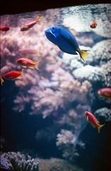 Oceanário de Lisboa, november 2014 (Teófilo de Sales) Tags: oceanario oceanarium lisbon lisboa aquarium public aquario publico fish tropical reef coral anemone colorful water nikkormatel nikkormat nikon nikkor analog analogic 50mm 35mm film fuji fujifilm fujixtra400 expired bokeh