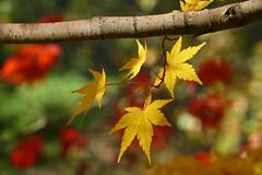 Acer palmatum Sango-kaku 2 (wundoroo) Tags: nybg newyorkbotanicalgarden newyork bronx fall autumn november leaves maple acer