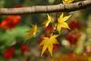 Acer palmatum 'Sango-kaku' 2 (wundoroo) Tags: nybg newyorkbotanicalgarden newyork bronx fall autumn november leaves maple acer
