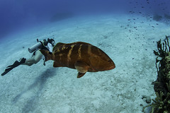 grouper with diver (1 of 1) (b.campbell65) Tags: animal beautiful beauty big blue bluechromis caribbean caymanbrac coral coralhead dive diver diving fish island isolated marine natural nature ocean reef scuba sea searod seascape swim travel tropical underwater water wildlife