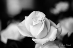 BW White Rose-0978 (Orkakorak) Tags: roses whit red bw