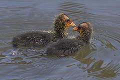 Eurasian Coot siblings 2016-10-14 (60D_4764) (ajhaysom) Tags: fulicaatra eurasiancoot royalparkwetlands melbourne australia australianbirds canoneos60d sigma150600