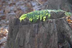 DSG_7381 Backlit fern on stump (Greying_Geezer) Tags: 2016 hazelbird ncc natureconservancyofcanada hamiltontownship ort hiking naturereserves ferns