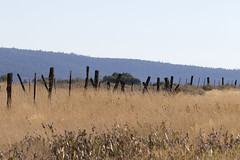 Fenceline_3256 (Mike Head - Jetwashphotos) Tags: grass fence fenceline hogwirefence rustic old weathered highway299east southardfieldairport ca northeasterncalifornia californiastate goldenstate ususa america