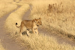 Lion Cub (moments in nature by Antje Schultner) Tags: lion lwe panthera leo cub jungtier botswana afrika africa wildlife chobe national park