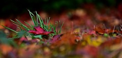 I would not exchange this bed for all the thrones in the world (Pics4life.nl off and on next week) Tags: autunno colorato colorido del otoo bunte herbst farverige efterr fall autumn herfst herfstblad bokeh colorful kleurrijk october nederland nl holland fallen leaves