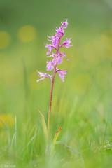 it was a good season (Tschissl) Tags: eisenerzeralpen orchideen polster orchids orte leobenumgebung vordernberg steiermark sterreich at