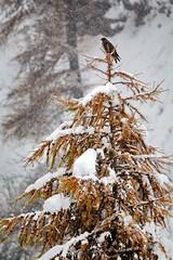ART_8436m (MILESI FEDERICO) Tags: milesi montagna milesifederico italia italy piemonte piedmont alpi alpicozie altavallesusa altavaldisusa autunno fall federicomilesi nikon nikond7100 d7100 iamnikon automne visitpiedmont valsusa valdisusa valliolimpiche valledisusa nital 2016 novembre europa europe neve nevicata snow bird animale animali fauna sigma150500 sigma poiana