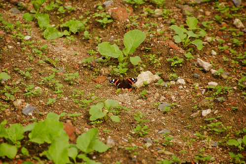 DSC03524 Butterfly and the radish field.