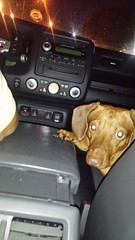 20150605_204946 (rolyrol1982) Tags: dachshund dog right hand man friend friendship car interior happy passenger driving riding paw snout look