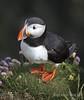 My little friend (Rolandito.) Tags: ìsland island iceland westfjords latrabjarg atlandic puffin bird papageientaucher animal
