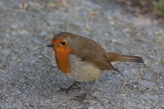 Aberystwyth 5D 2016-11-28 007 (bertthecat) Tags: animal bird robin wales aberystwyth